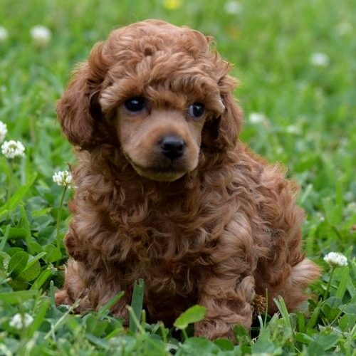 Radiant Red Poodles - AKC Toy Poodles - Red, Black, Apricot Puppies