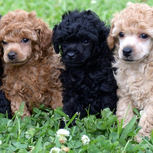 Radiant Red Poodles Akc Toy Poodles Red Black Apricot